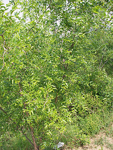 Ziziphus jujuba (from Greek,zizyfon), commonly called jujube (sometimes jujuba), red date, Chinese date, Korean date, or Indian date