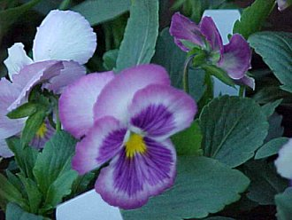 Pansy Photograph