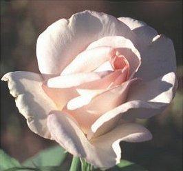 Rose Image 2
